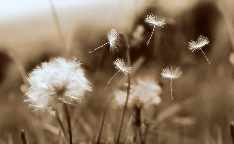 dandelion-blowing-in-wind1